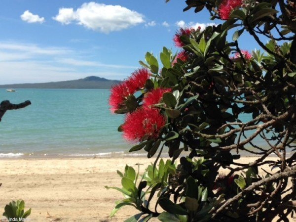 Gorgeous beach view with pohutukawa tree in new zealand
