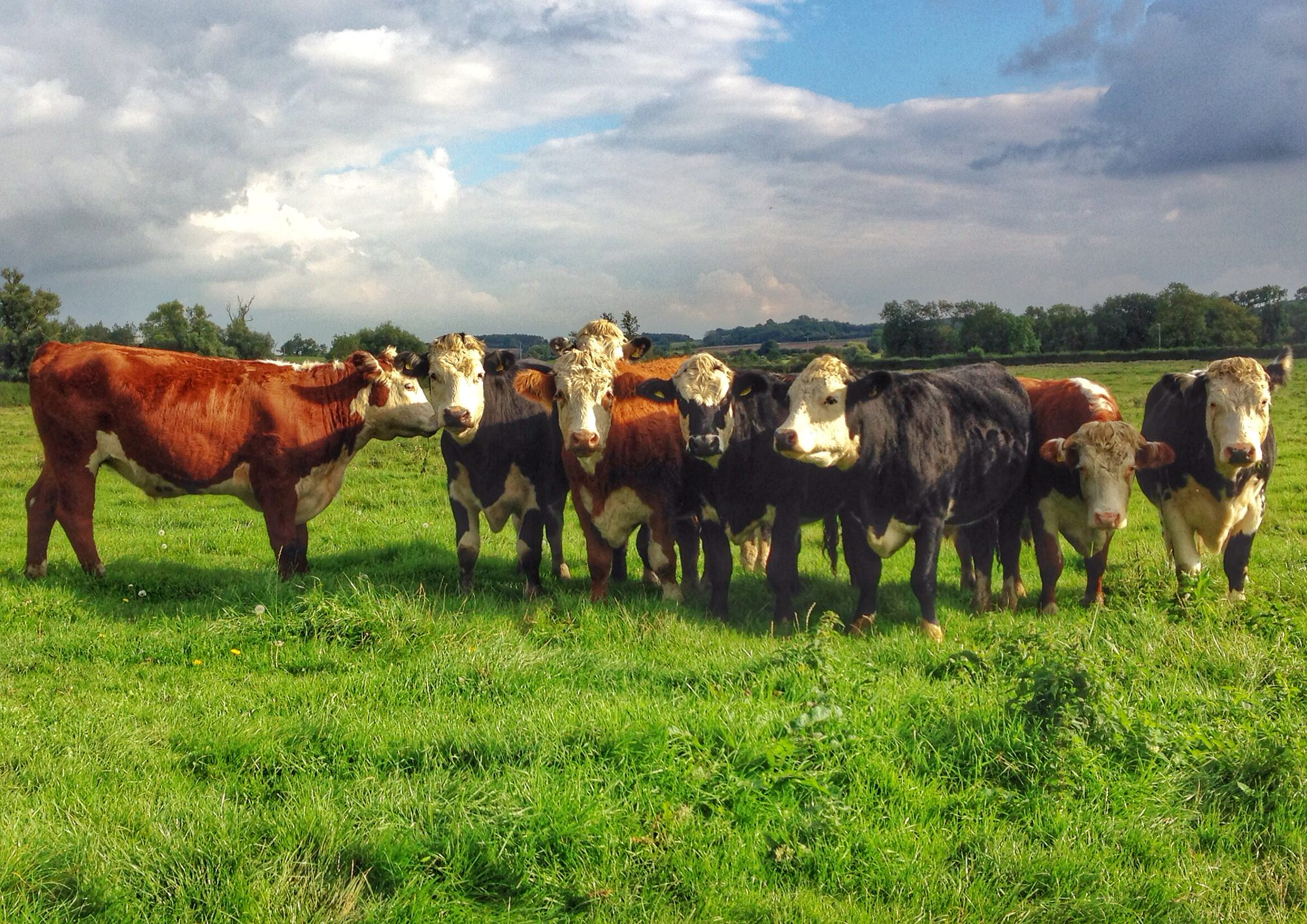Cows near Oundle UK