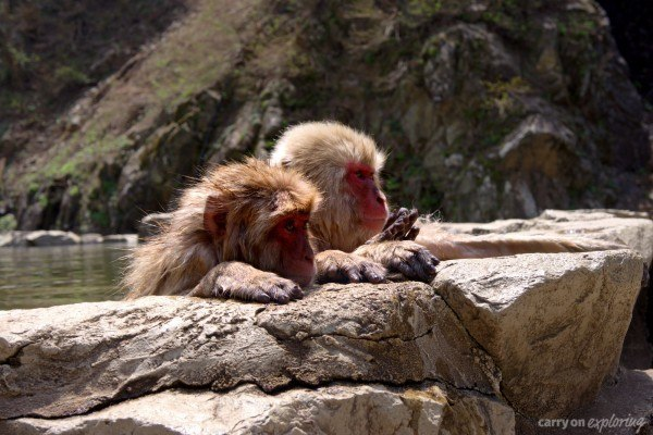 Snow monkeys at Jigokudani Monkey Park in Japan