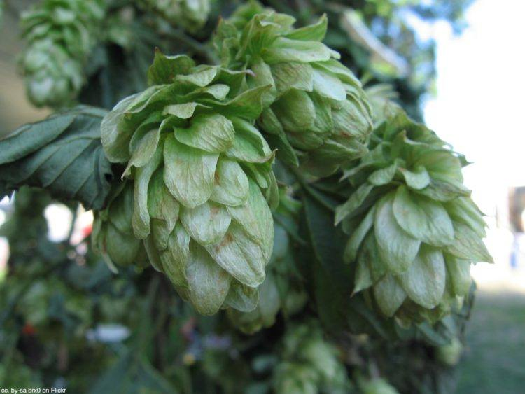 Hops at Oregon Brewers Festival