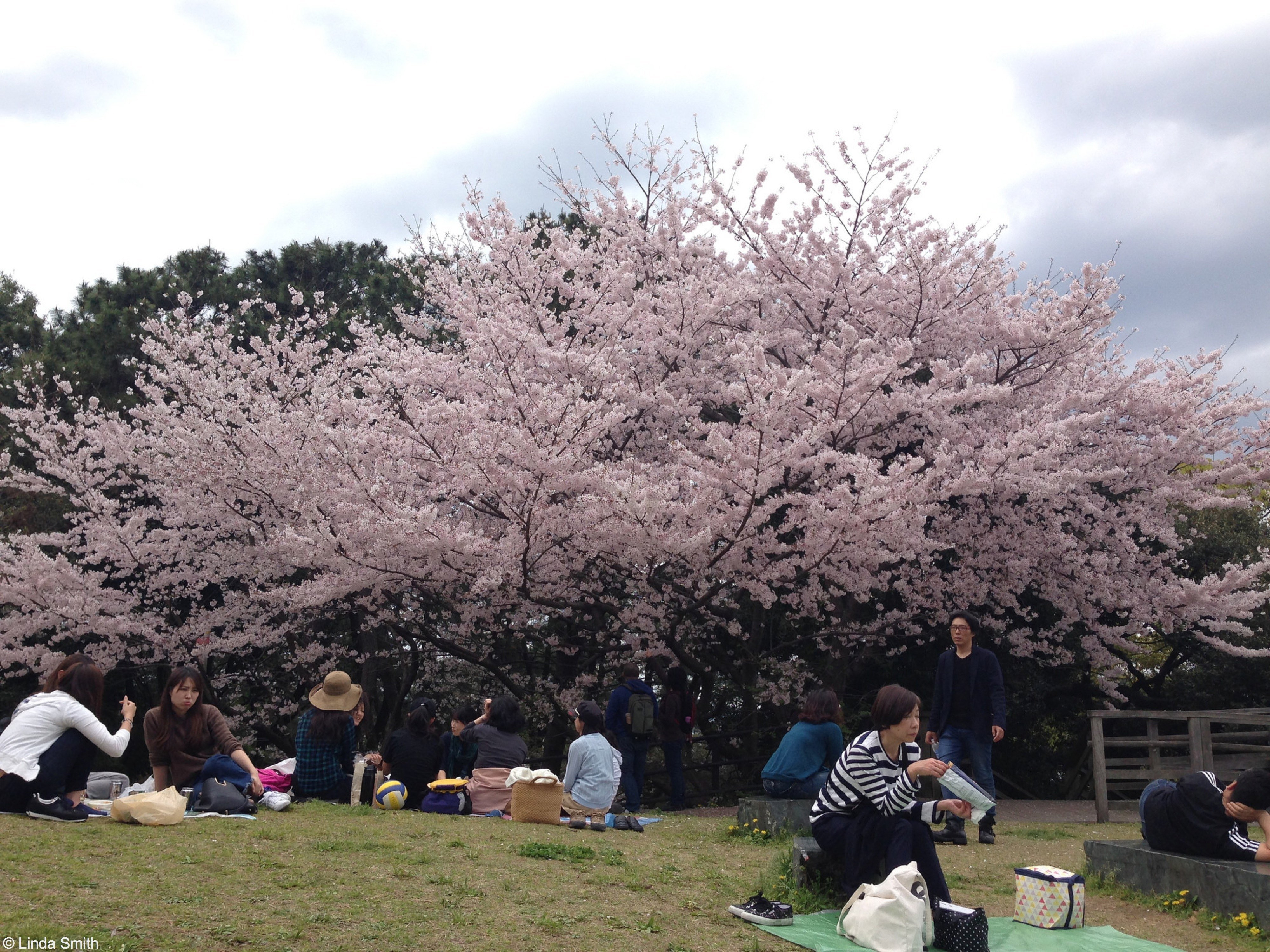 People gather beneath the blossom to picnic and celebrate Hamami