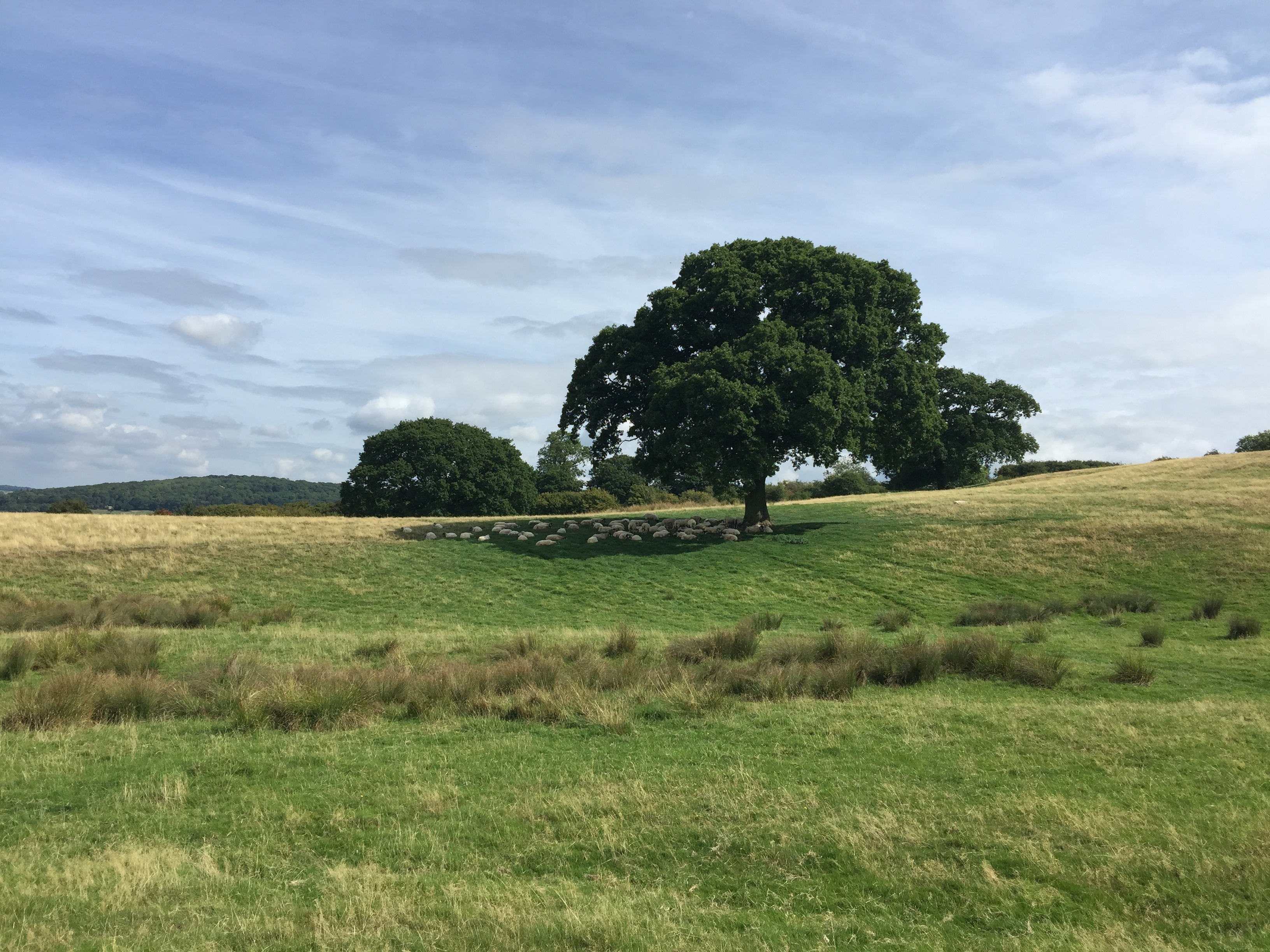 Cotswold Way tree