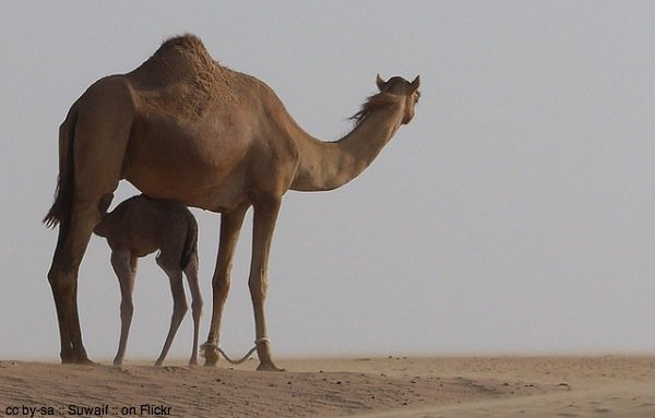 Camels in the desert by Suwaif on Flickr