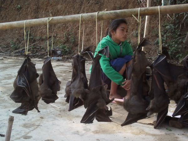 Live bats for sale at a roadside market in northern Laos.