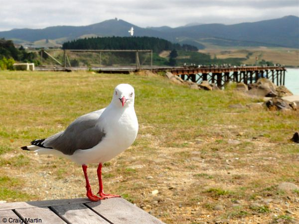 Seagull at Moeraki