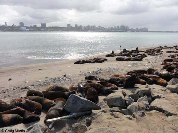 Sealions in Mar del Plata