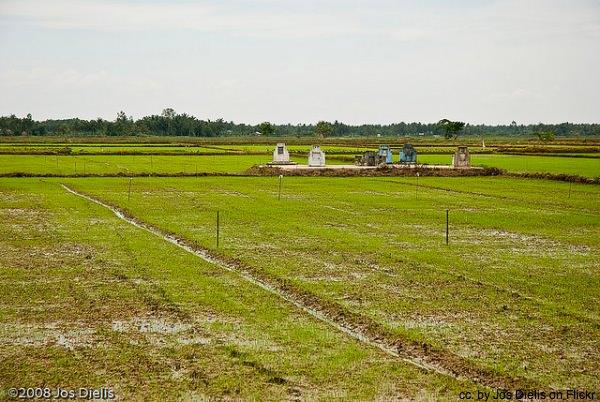 Vinh Long rice paddy Vietnam