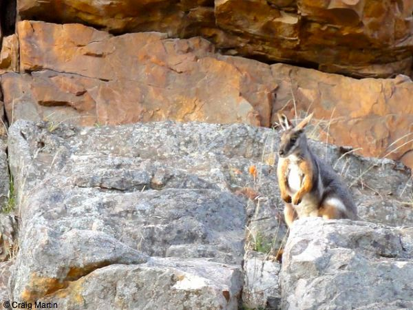 Yellow footed wallaby at Warren Gorge