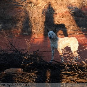 A dingo, wild dog of central Australia