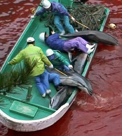 Taiji dolphin slaughter - the cove
