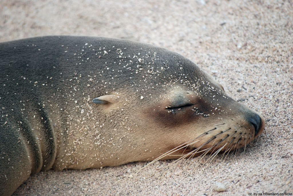 seal resting on beach galapagos ecuador